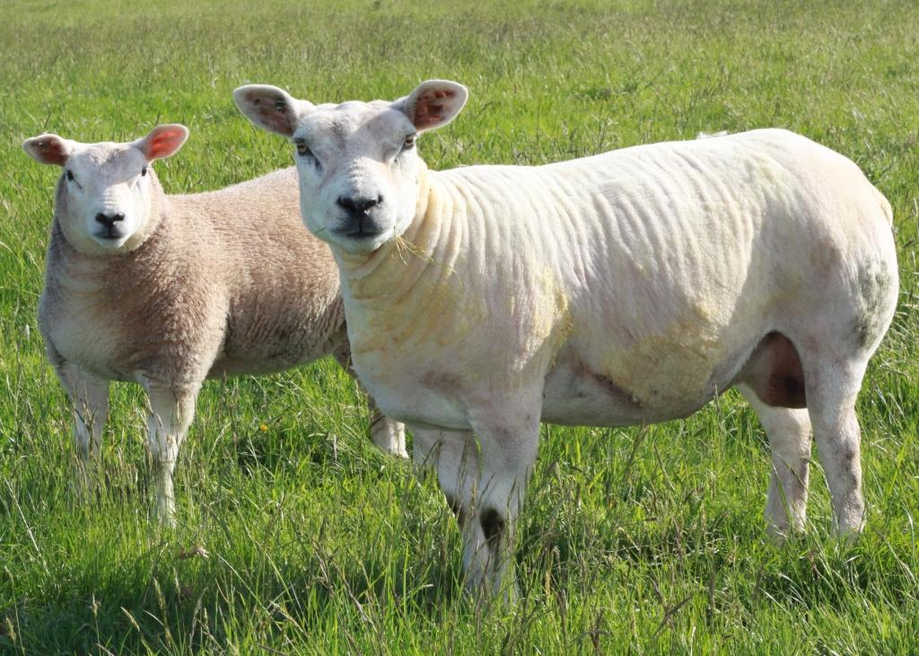 A Lucky Strike ewe with an Arkle Pacific Star ewe lamb